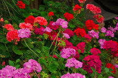 Flowers of a red and pink geranium. In the garden Royalty Free Stock Photography
