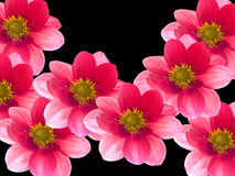 Flowers with red and pink petals. On ablack background Royalty Free Stock Photos