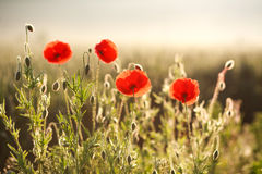 Flowers red poppies blooming in field in rays of dawn Stock Photos