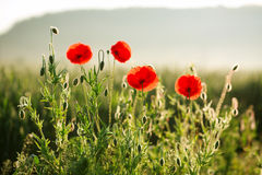 Flowers red poppies blooming in field in the rays of sunrise Stock Images