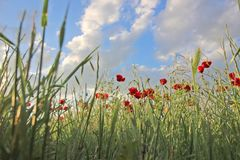 Flowers Red poppies blossom in field royalty free stock photo