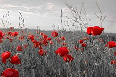 Flowers Red poppies blossom in field stock image