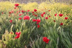 Flowers Red poppies blossom in field royalty free stock image