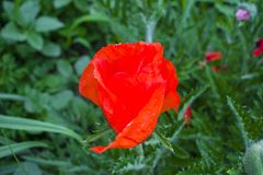 Flowers Red poppies blossom on wild field. Beautiful field red p royalty free stock photos