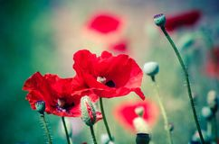 Flowers Red poppies blossom on wild field. royalty free stock image