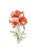 Flowers red poppies spring flower bunch watercolor painting illustration isolated on white background Stock Photography
