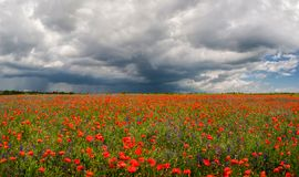 Flowers of red poppies. Summer landscape with red poppies. Panorama stock image