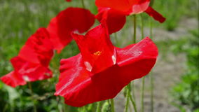 Flowers red poppies. stock footage