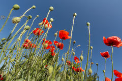 Flowers red poppy Royalty Free Stock Image