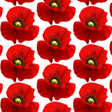 The flowers of red poppy closeup on blur background. Stock Image