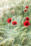 Flowers of red poppy on the corn field Stock Image
