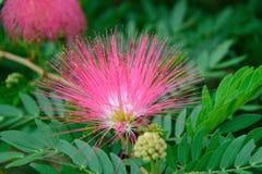 Flowers of Red powderpuff Stock Photos