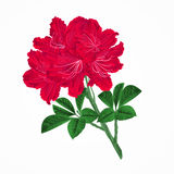 Flowers red rhododendrons twig Mountain shrub vintage vector Royalty Free Stock Photos