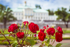Flowers red rose. Grand Menshikov Palace in Oranienbaum. LOMONOSOV, RUSSIA - AUGUST 20, 2014: Flowers red rose on a background of the panorama of the Grand Stock Photos