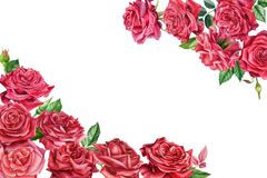 Flowers red rose on isolated, white background watercolor painting, greeting card