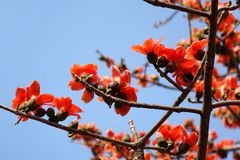 Flowers of the Red Silk Cotton Tree Royalty Free Stock Photo