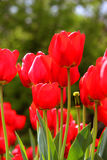 Flowers. Red tulips on blurred green background Stock Images