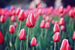 Flowers red tulips in field Royalty Free Stock Photo