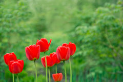 Flowers red tulips  in the garden. Focus on one flower Royalty Free Stock Images