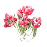 Flowers. The red tulips. Stock Photography