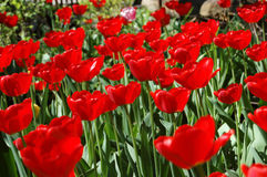 Flowers of red tulips. Stock Images