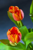 Flowers of red tulips with water drops Royalty Free Stock Image