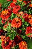 Flowers red Zine in garden Royalty Free Stock Photo