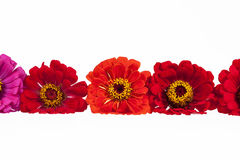 Flowers of red zinnia  on white background Royalty Free Stock Images
