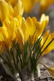 Flowers redolent of spring-time. Yellow crocus royalty free stock photography