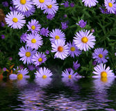 Flowers  reflected in water Royalty Free Stock Photography