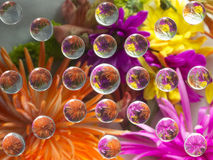 FLOWERS REFRACTION 17 Royalty Free Stock Image