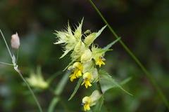 Flowers of Rhinanthus glacialis Royalty Free Stock Photos