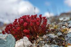 Flowers Rhodiola rosea roseroot mountains Royalty Free Stock Image