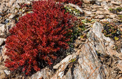 Flowers Rhodiola rosea roseroot mountains Stock Photography