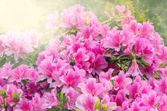 Flowers of Rhododendron. Flowers of Rhododendron (Azalea) after rain at sunset time Royalty Free Stock Photo