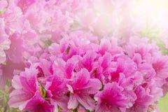 Flowers of Rhododendron. Flowers of Rhododendron (Azalea) after rain at sunset time royalty free stock photo