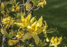 The flowers rhododendron azalea yellow. stock images