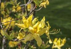 The flowers rhododendron azalea yellow. royalty free stock photo