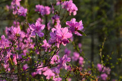 The flowers of rhododendron. Flowers of rhododendron. Flowering shrub in the woods royalty free stock photos
