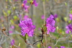 Flowers of rhododendron (Rhododendron mucronulatum) 3 Stock Images