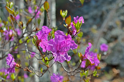 Flowers of rhododendron (Rhododendron mucronulatum) 2 Royalty Free Stock Photos