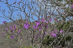 Flowers of rhododendron (Rhododendron mucronulatum) 12 Royalty Free Stock Photo