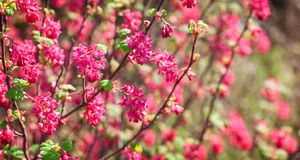 Flowers from Ribes sanguineum Royalty Free Stock Photo