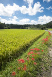Flowers and rice field Stock Photos