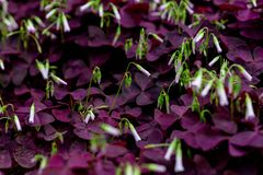 Oxalis triangularis-Oxalis corniculata. The flowers are rich in color and varied in form. The common Oxalis in China have Oxalis. There are no obvious stems Royalty Free Stock Image