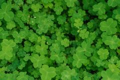 Shamrock-Oxalis corniculata. The flowers are rich in color and varied in form. The common Oxalis in China have Oxalis. There are no obvious stems, leaf base Royalty Free Stock Photos