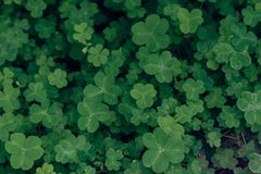 Shamrock-Oxalis corniculata. The flowers are rich in color and varied in form. The common Oxalis in China have Oxalis. There are no obvious stems, leaf base Royalty Free Stock Photography