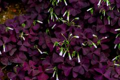 Oxalis triangularis-Oxalis corniculata. The flowers are rich in color and varied in form. The common Oxalis in China have Oxalis. There are no obvious stems Royalty Free Stock Photo