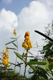 Flowers of Ringworm Bush (Senna alata) Royalty Free Stock Images