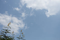 Flowers of Ringworm Bush (Senna alata) under the sunny sky Royalty Free Stock Image